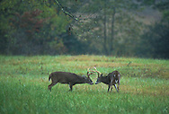 White-Tailed buck spar during the rut in Cades Cove, Great Smoky Mountains National Park.