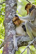 Proboscis Monkey<br /> Nasalis larvatus<br /> Adult grooming juvenile<br /> Sabah, Malaysia