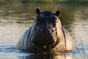 Portrait of an aggressive hippopotamus, Hippopotamus amphibius, in the water.