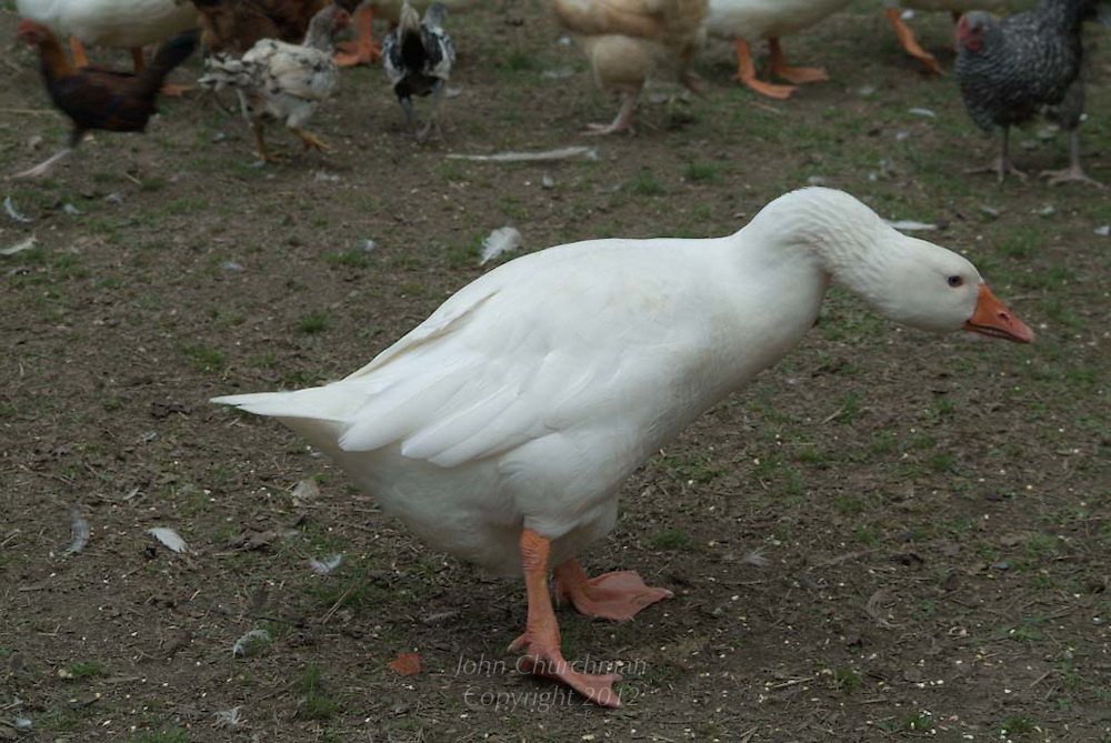 angry white goose, crooked neck, organic farm