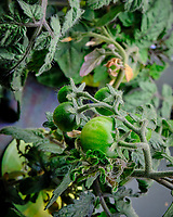 Small green tomatoes. Image taken with a Fuji X-T3 camera and 80 mm f/2.8 macro lens (ISO 800, 80 mm, f/16, 1/60 sec).