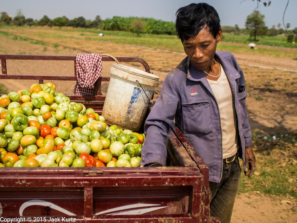 "26 FEBRUARY 2015 - PHNOM PENH, CAMBODIA:   A work crew harvests tomatoes on Koh Dach (""Silk Island"") on the outskirts of Phnom Penh.    PHOTO BY JACK KURTZ"