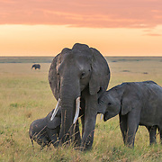 Amazing encounter with the herd under beautiful ambient light early in Maasai Mara.