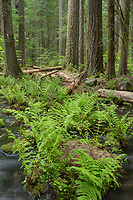 Cascade Range Forest, Oregon