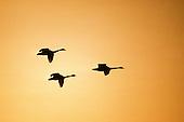 WATERFOWL - GEESE/SWANS