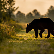 black bear, nc bear photography, nc wildlife, nc wildlife photography, north carolina wildlife photography, pocosin lakes nwr, pungo unit, pungo wildlife refuge, nc black bear, nc black bear fest, bear festival, nc bear fest, nc black bear festival, black bear photography workshop, photography workshop, nc black bear workshop, black bear workshop, black bear photo tours, nc bear tours