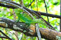 Green Basilisk Lizard (Basiliscus plumifrons), Central America Image by Andres Morya