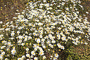 Argyranthemum frutescens marguerite  daisy flowers, Lanzarote, Canary Islands, Spain