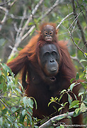 A female adult Bornean orangutan with a child riding on its back emerges from the forests of Tanjug Putin National Park in Indonesia.