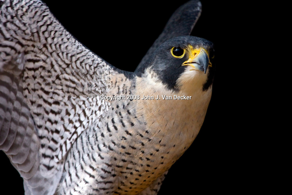 Peregrine Falcon, Falco peregrinus, flapping wings. Turtleback Zoo, West Orange, NJ