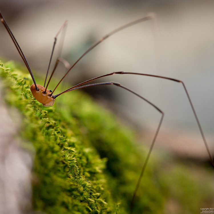 Macro photograph of a Harvestman, commonly called a Daddy Long Legs.  Species (Opiliones) related to spiders (but not a spider).  Photograph taken in the forests of the Kawarthas region of Ontario