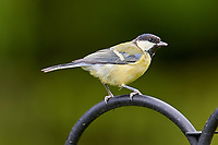 Great Tit (Parus major),  Westerham , Kent, England