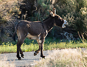 Nonnative burro in Death Valley National Park, California, USA. Invasive burros (Equua asinus) are often called donkeys and can be found throughout the backcountry in Death Valley. They are an introduced species that originally descended from the African wild ass and are NOT native to North America. Invasive burro populations can grow at 20% per year, causing damage to limited native vegetation and spring ecosystems, thereby hurting native wildlife such as bighorn sheep and desert tortoise.
