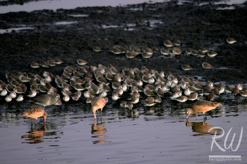 Clapper Rail and Western Snowy Plovers Feeding at Dusk, Bolsa Chica Ecological Reserve, California