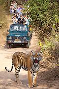 Tourists watch female Bengal tiger, Panthera tigris tigris, in Ranthambore National Park, Rajasthan, India