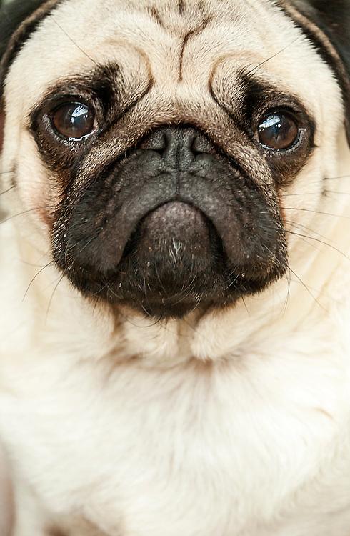 A Pug