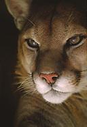 Mountain Lion, Puma, Cougar