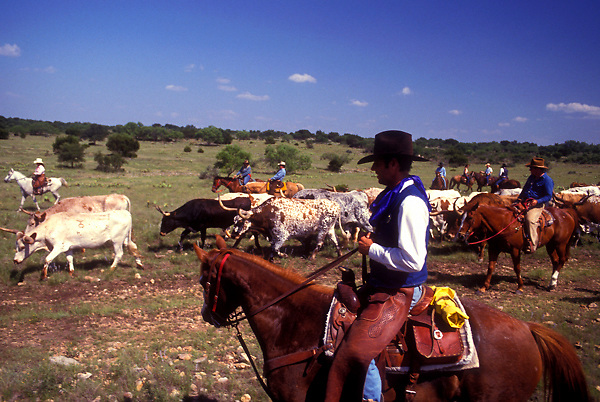 group of cowboys herding a group of cattle