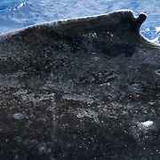 A humpback whale (Megaptera novaeangliae) with an unusual notch or split in its dorsal fin. These types of notches and splits are useful for recognizing individual whales.