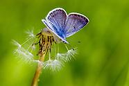 Icaricia saepiolus aehaja - Greenish Blue
