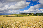 Wheat field in Marlborough Downs, Wiltshire, England, United Kingdom