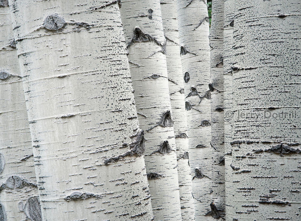 Aspen trunks along the Capitol Creek Trail in the Rocky Mountains, White River National Forest near Aspen, Colorado