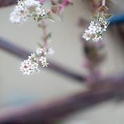 Extreme closeup of the tiny white flowers of a Crassula capitella succulent plant