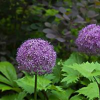 Globemaster Giant Allium (Allium giganteum 'Globemaster')