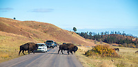 In Custer State Park, mammals like these bison have the right of way.   South Dakota.