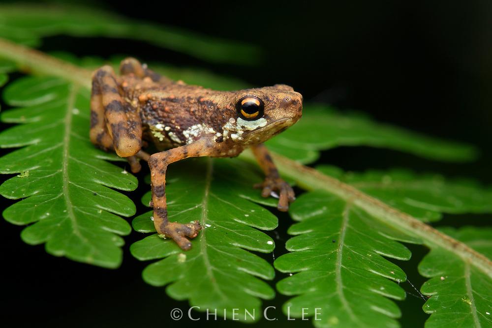 Dwarf Toad (Pelophryne signata). Sarawak, Malaysia.