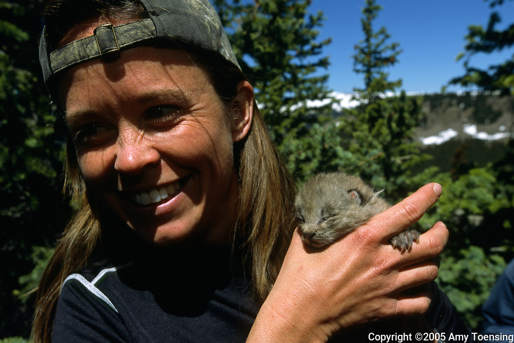 SOUTHERN COLORADO- JUNE 13: Photographer Amy Toensing holds a lynx kitten that has just been checked over and tagged by Biologist Tanya Shenk June 13, 2005 in Southern Colorado. In 1999 the Colorado Division of Wildlife (CDOW) began a lynx reintroduction program, trapping the animals in Canada and bringing them to Colorado. The goal is to re-establish the lynx population in the state, which has been nonexistent since the 1970s, to a viable level where the population that can sustain itself. The program has brought in 204 lynx between 1999 and 2005. There have been 71 known deaths, and 101 kittens born. The program is considered widely as a success, however the program has also instigated controversy protests from animal rights groups and developers. (Photo by Amy Toensing) _________________________________<br />