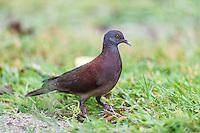 Madagascar Turtle Dove, D'Arros Island and St Joseph Atoll, Amirantees, Seychelles,