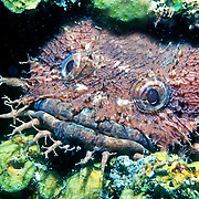 Bearded Toadfish inhabit shallow sandy areas, usually in dark recesses under rocks and reefs with only head proturding along Caribbean coast and islands of Central America; picture taken Belize.