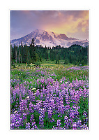 Mount Rainier 14,411 ft (4,392 m) from wildflower meadows of Paradise, Mount Rainier National Park Washington USA