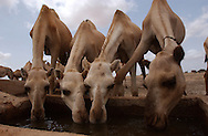 El Barde, Somalia.   Camels drink water in a water well near  a food distribution center run by the World Food Programme in El Barde, Somalia.  This region of northern Somalia, close to the Ethiopia's border has been suffering years of a severe drought.  (PHOTO: MIGUEL JUAREZ LUGO)
