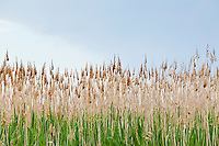 Beach grass closeup. Maryland, USA.