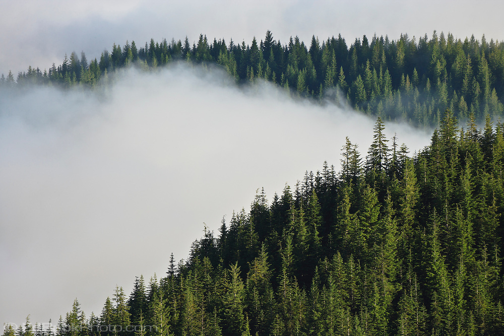 A Noble Fir  (Abies procera) and Pacific Silver Fir (Abies amabilis) forest covers the mountains that rise above the cloud filled valleys along the Mount Tahoma Trails cross country ski trail system of the Cascade Range, WA, USA