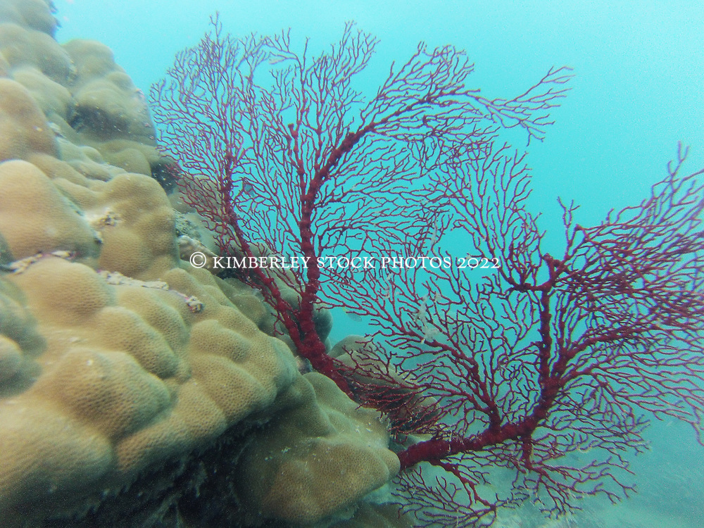 A Gorgonian fan coral on the south side of Macleay Island on the Kimberley coast.