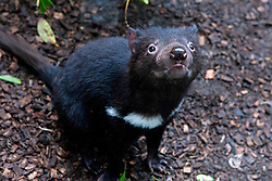 Tasmanian devil (Sarcophilus harrisii) at The Australia Zoo, Beerwah, Queensland, Australia