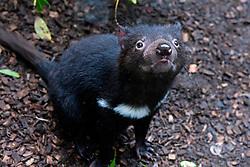 Tasmanian devil (Sarcophilus harrisii) at The Australia Zoo, Beerwah, Queensland, Australia
