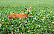 A buck enjoys a snack in a field along Hwy 67 just south of Summit Moors Drive in the Town of Summit Sunday, August, 5, 2007. JEFFREY PHELPS/JPHELPS@JOURNALSENTINEL.COM