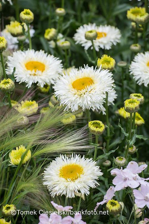 Leucanthemum x superbum 'Sunny Side Up'