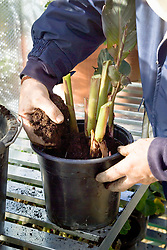 Potting up tender cannas to overwinter in the greenhouse