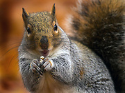 During a break in the rainfall, a squirrel enjoys a snack at  Seattle's Volunteer Park.  (Ellen M. Banner / The Seattle Times)