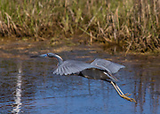 A Tri-colored Heron flying low over the Black Duck Marsh in Chincoteague National Wildlife Refuge