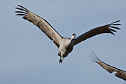Bosque National Wildlife Refuge, New Mexico, a Sandhill Crane (Grus canadensis) in flight