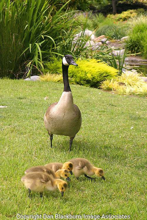 A Canadian Goose takes her goslings for a walk in Southren California.