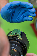 Fea's Tree Frog on a photographers lens - The annual weigh-in records animals' vital statistics at ZSL London Zoo. London, 24 August 2017
