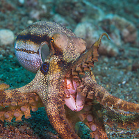 A Poison Ocellate Octopus, Amphioctopus siamensis, exposing its mouth, Dauin, Dumaguete, Negros Island Region, Philippines.