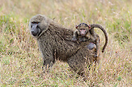 An infant baboon rides on its mother's back in East Africa